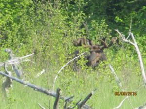 Isle Royale Moose