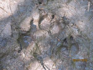 Isle Royale Wolf Track